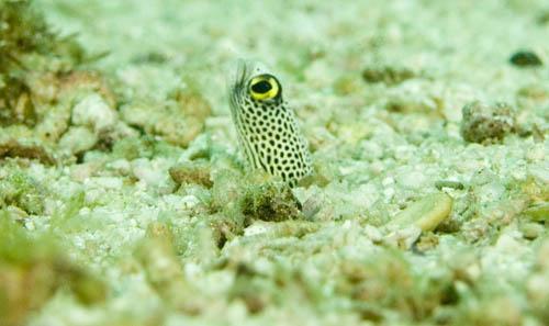 Eel, Palau Weh